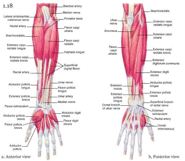 Mini Handbooks Skeletal Muscle Group Iv Anatomy Pinterest