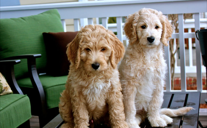 8 Pawesome Goldendoodle Facts You Didn't Know