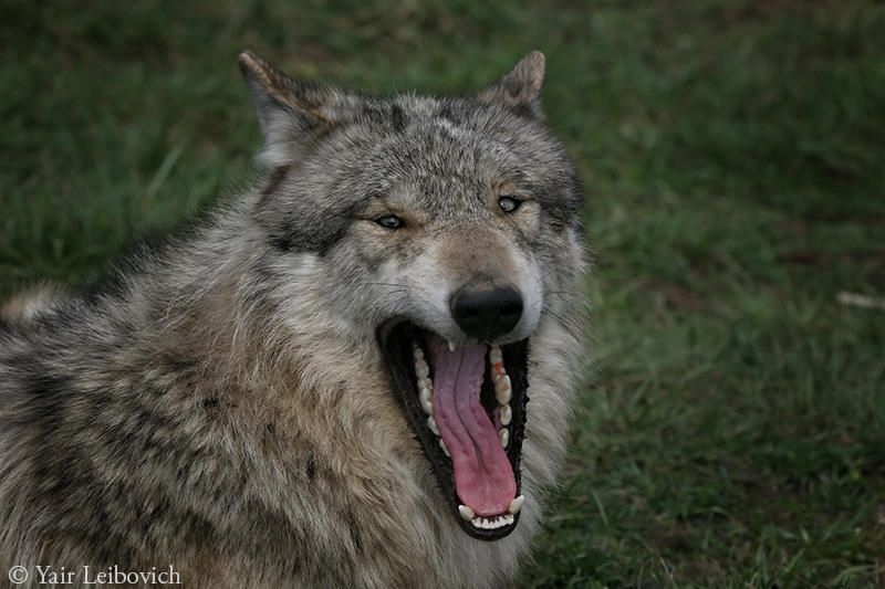 Laughing wolf by YairLeibovich Wolf, Laugh, Animals