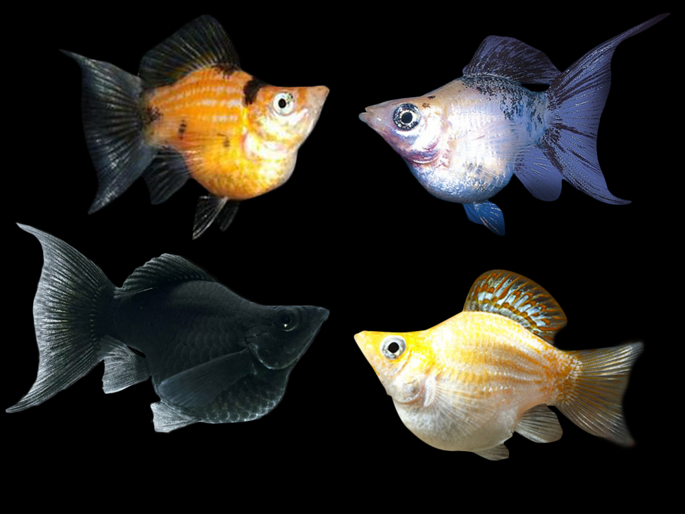 Assorted Balloon Lyretail Mollies Price 1 60 Gbp Worldwide Shipping Https Diapteron Co Uk Product Assorted Balloons Molly Fish Tropical Freshwater Fish