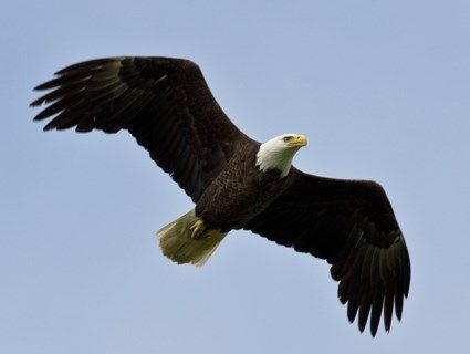 bald eagles - Google 検索