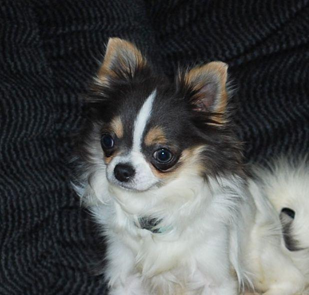 Will X Vandal Joe All Grown Up Chihuahua Puppy Chihuahua