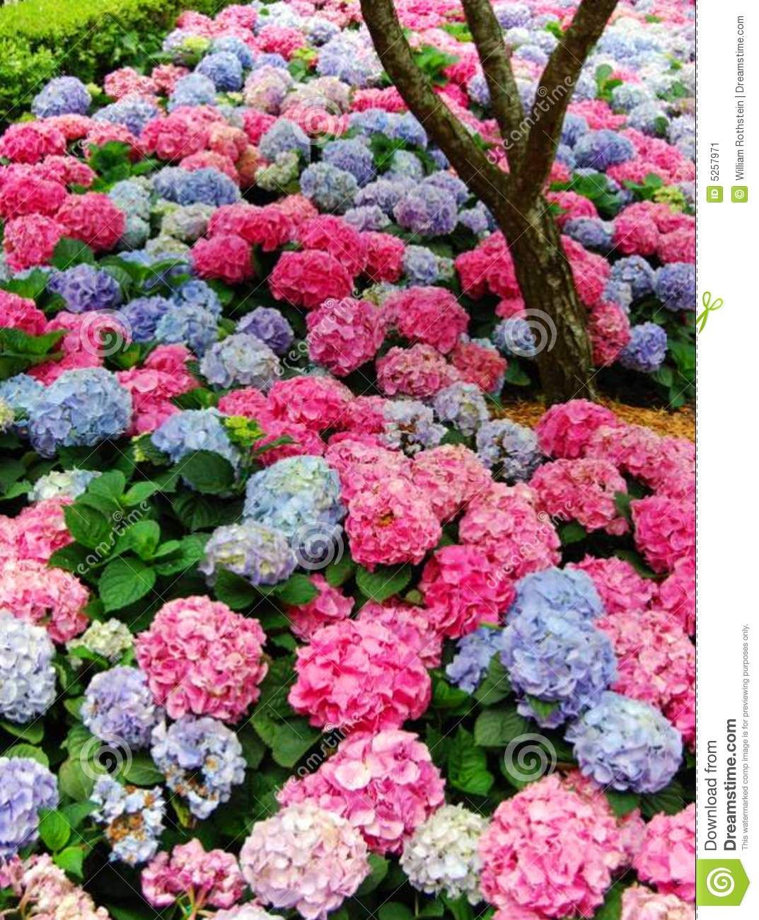 Hydrangea In Multi Colors Photo About Change Flower Plant Manipulation Hydrangea Gardens Color Plantings Southern Garden Hy