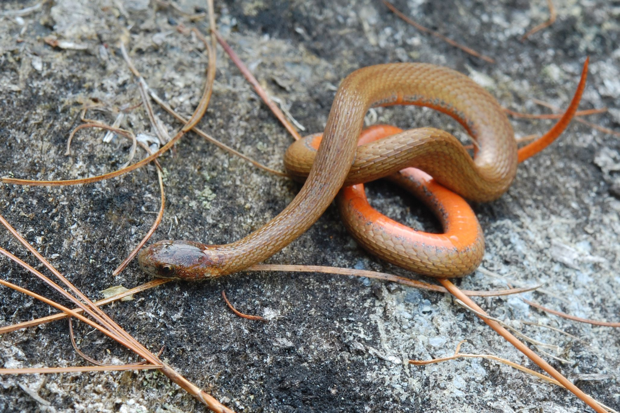 Baby Copperhead Snake Pictures Cottonmouth Mamba