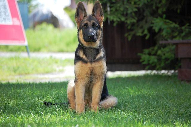 Бесплатные фото на Pixabay - Немецкая Овчарка, Собака ...