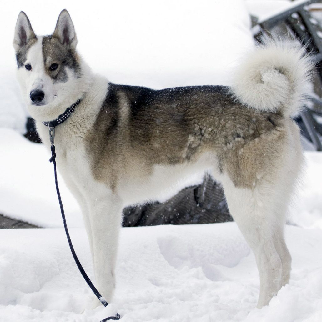 East Siberian Laika Breed Guide Learn About The East Siberian