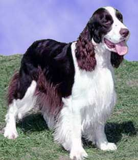 English-Springer-Spaniels ... English Springer Spaniel Training: http://tipsfordogs.info/90dogtrainingtips/