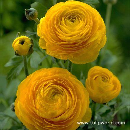 Yellow Ranunculus Yellow Flowers Ranunculus Flowers Flowers