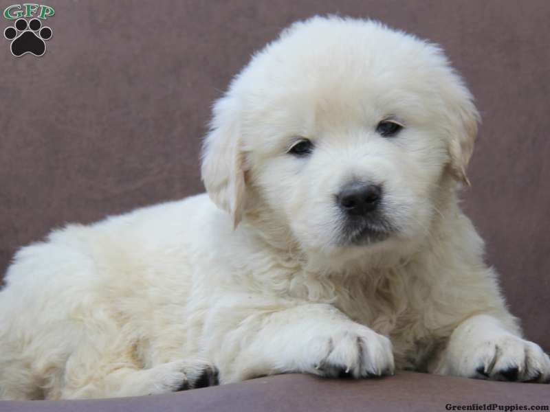 Bailey English Cream Golden Retriever Puppy For Sale In New