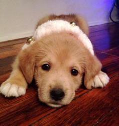 Adopt Gabe On Dogs Golden Retriever Shepherd Mix Dog Pup