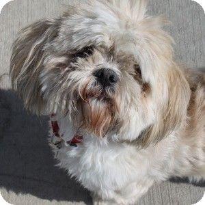 Lhasa Apso Mix Meet Daisy A Dog