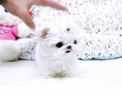 Pictures Of Tiny Teacup Babyface Maltese Puppies Available