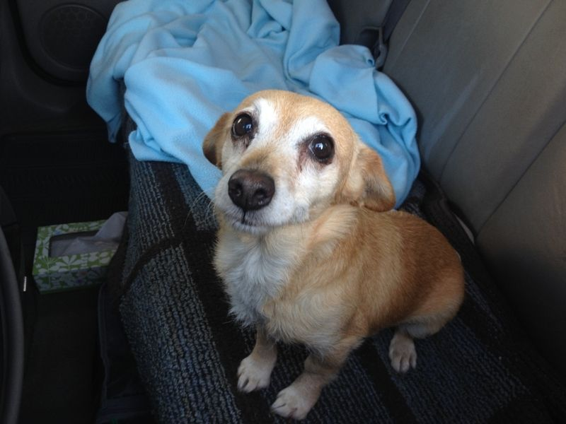 Adopted Lizzie Spayed Female 8 Yr Chiweenie W Big Soulful Eyes Approx 7 Lbs She Gets Along Well W Dogs Cats Walks Well Chiweenie Rescue Dogs Senior Dog