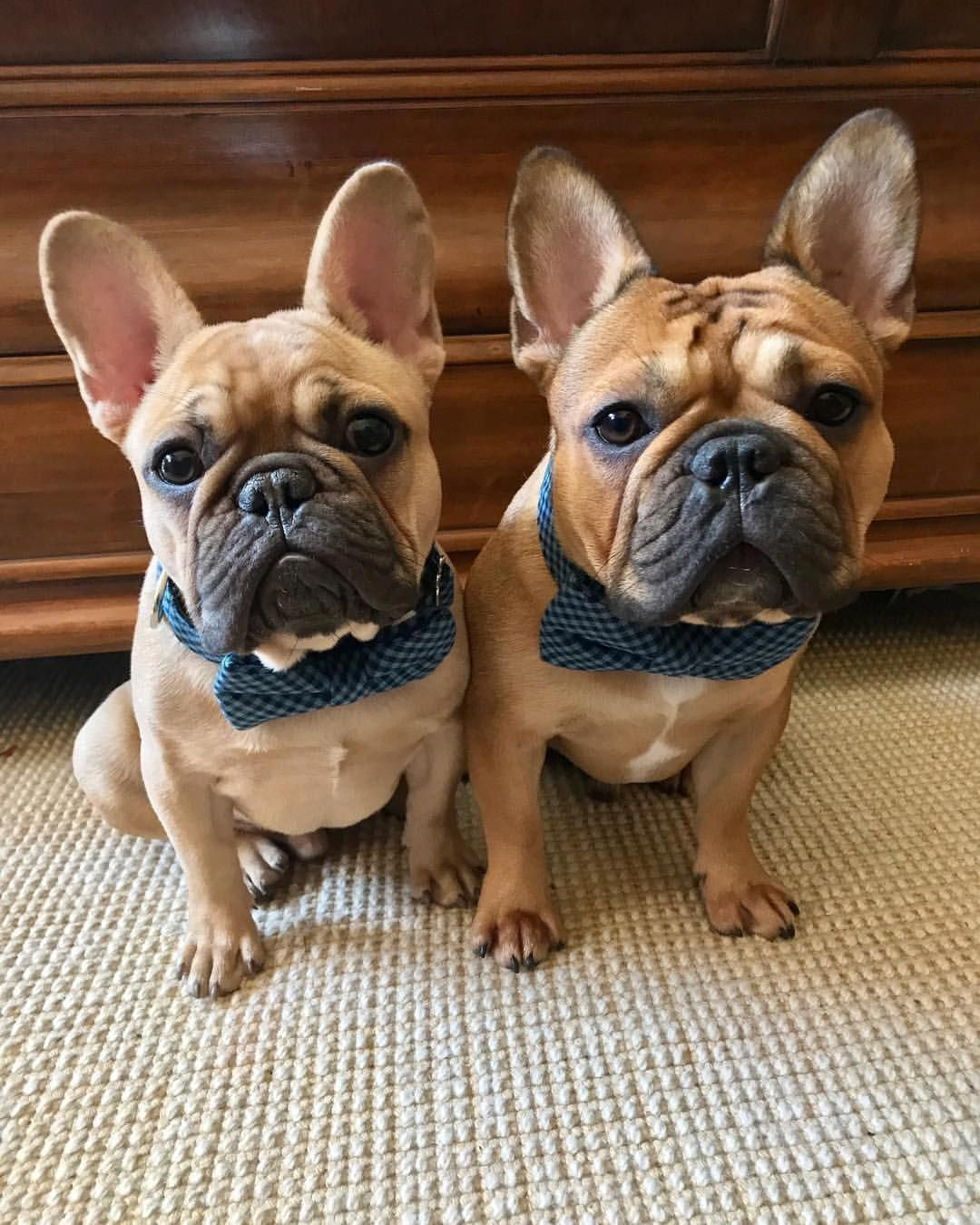 All About The Friendly French Bulldog Dogs Temperament