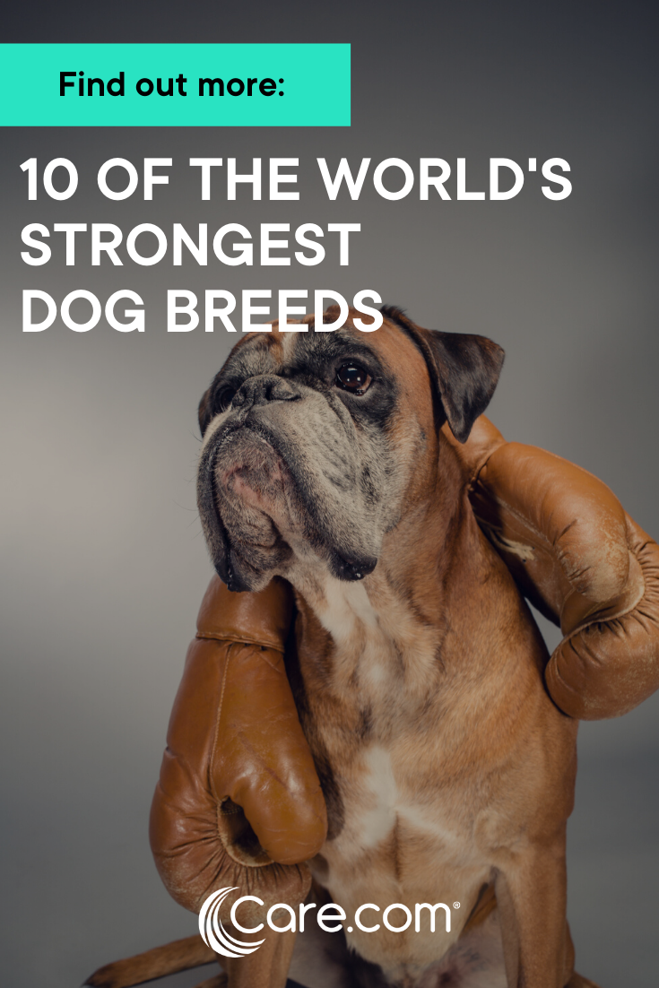 10 Of The Strongest Dog Breeds In The World Dog Breeds Dogs Dog Care