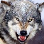 تحميل أحلى صور الذئب صور ذئب حلوة Fox Photos Wild Animals Attack Angry Wolf Animal Attack