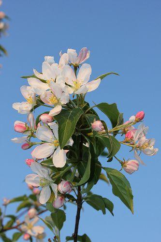 Spring Apple Tree Blossom, Samara,Russia
