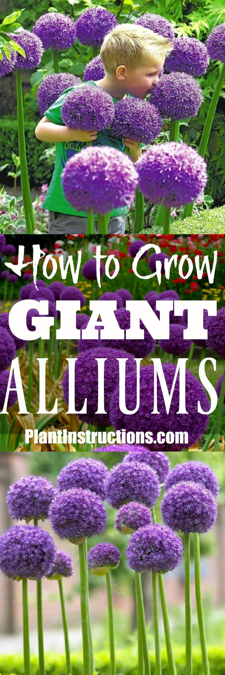 How To Grow Giant Alliums Allium Flowers Plants Planting Flowers