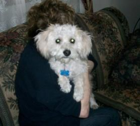 Adopt Buddy On Havanese Dogs Poodle Mix Dogs Dogs