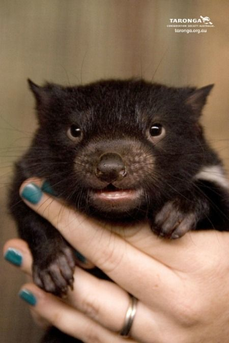 Diabo Da Tasm 226 Nia Baby Tasmanian Devils Animals