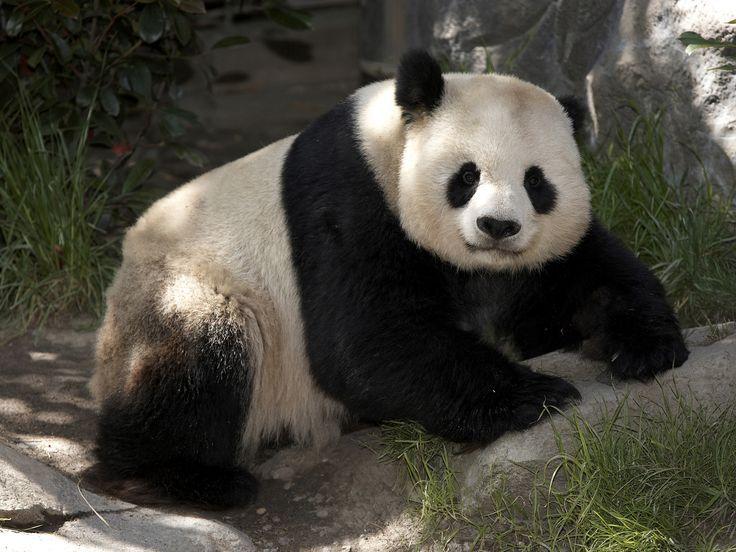 Panda do zoo