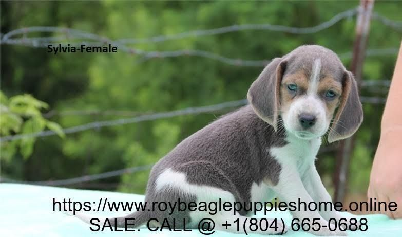 Are You Planning Of Adding Beagle As A Family Beagle Puppy