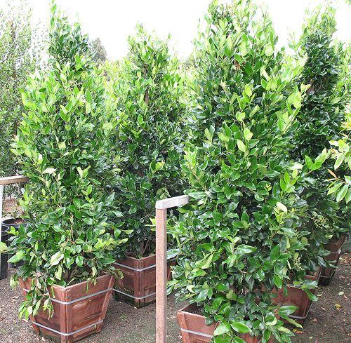 Privet Waxleaf 10 5 Gallon Pots For Hedge Plants Hedges