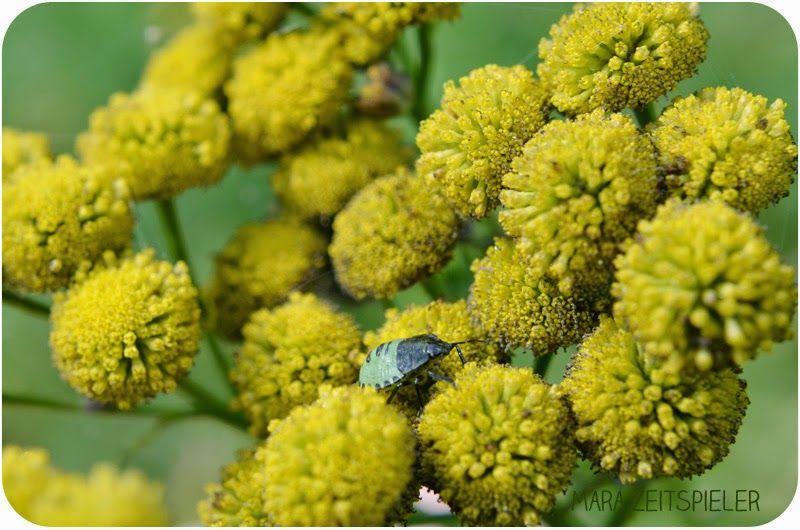 Mara Zeitspieler: Makro-Fotografie. Stinkwanze auf gelber Blume.