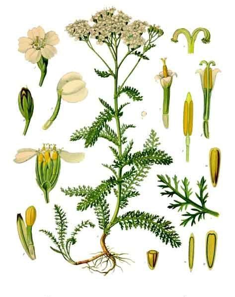 Daun seribu  Wikipedia bahasa Indonesia, ensiklopedia bebas is part of Achillea millefolium -