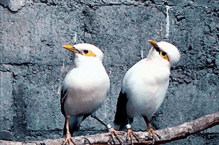 Ada Banyak Alasan Mengapa Burung Jalak Putih Menjadi Favorit Bahkan Primadona Di Kalangan Pecinta Burung Jalak Keunggulan Burung Ja Gambar Burung Burung Jalak
