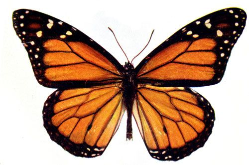 butterfly clipart butterfly and butterfly cocoon rh pinterest com Monarch Butterfly Chrysalis monarch butterfly clipart images