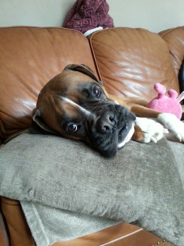 How could you not love this face? Boxer puppies, Boxer