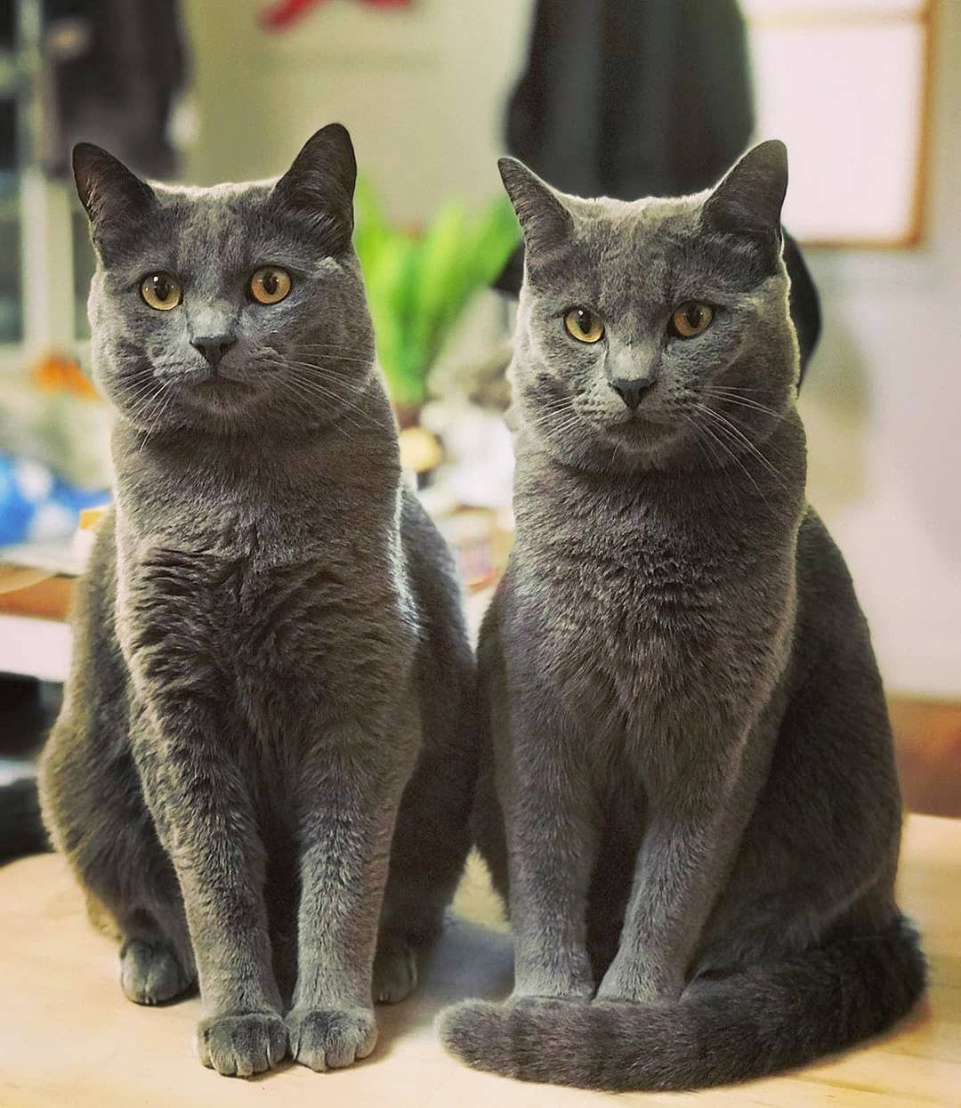 Chartreux cats of the day!... Chartreux cat, Cat day