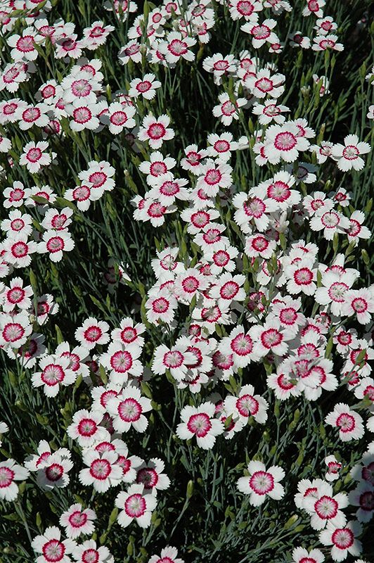 Arctic Fire Maiden Pinks (Dianthus deltoides 'Arctic Fire') in ...
