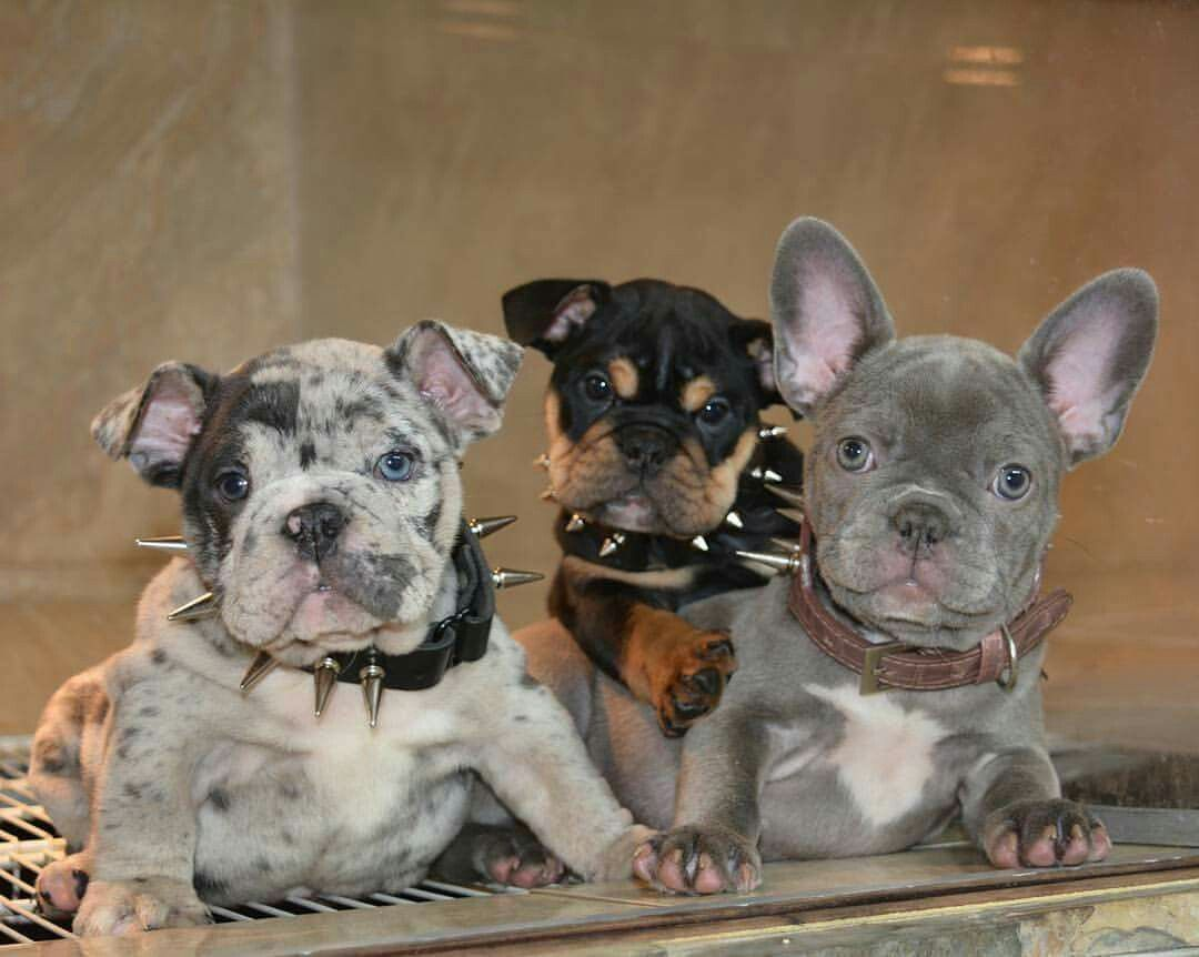 Bully Family French Bulldog And English Bully Rare Color Bulldog