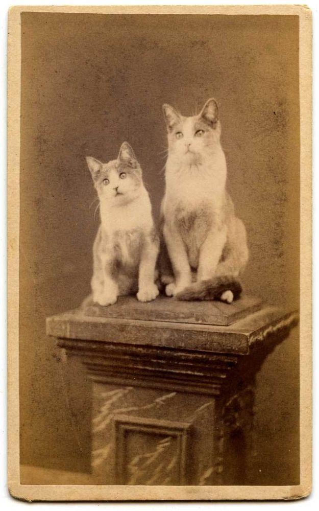 CDV of Two Cats on a Studio Column by J. J. Butman Little