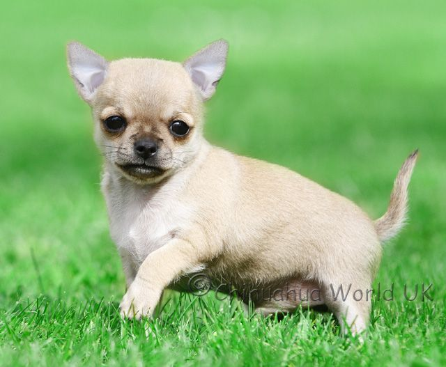 Chihuahua Puppies Chihuahua Puppies For Sale Chihuahua Puppies
