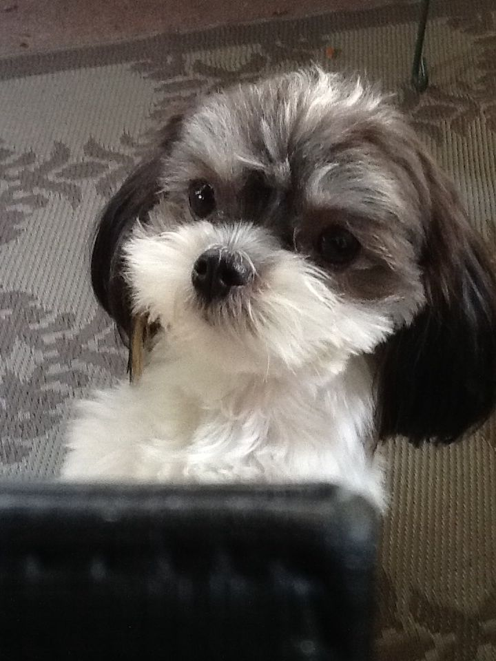 Mookie The Mi Ki With Images Miki Dog Cute Baby Animals Dog