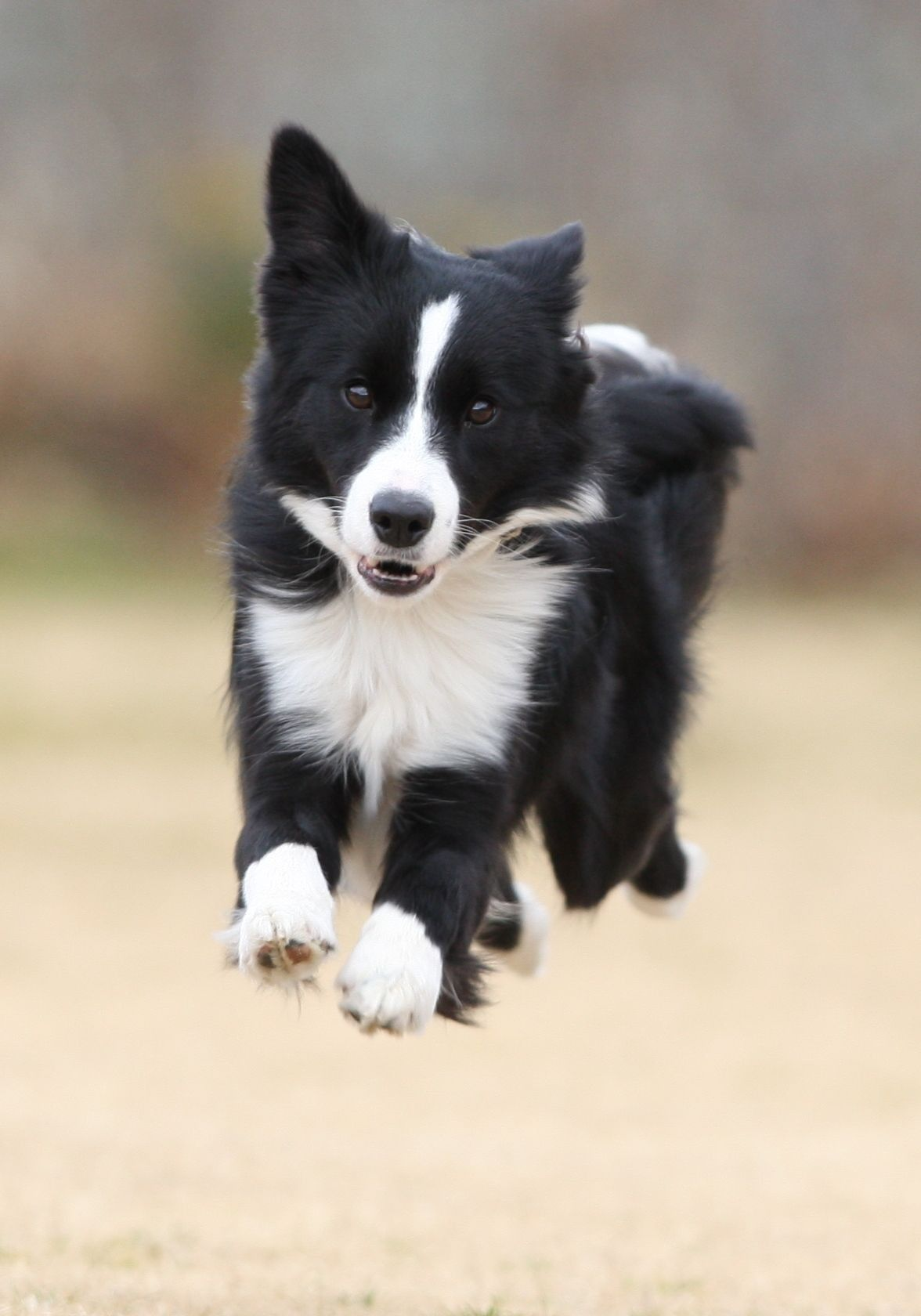 Pin By Terry On Border Colli Border Collie Dog Collie Dog Herding Dogs