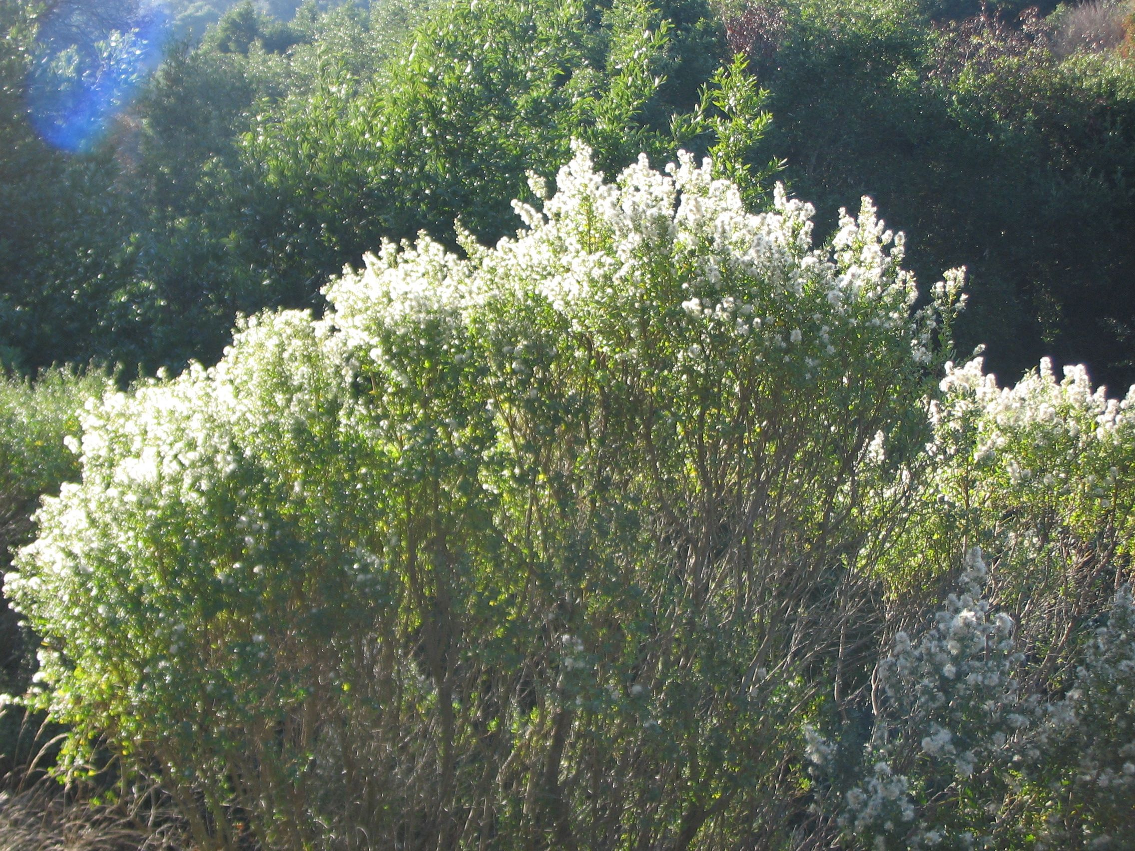 Coyote brush this evergreen shrub grows 3 6 39 tall and for Tall evergreen shrubs