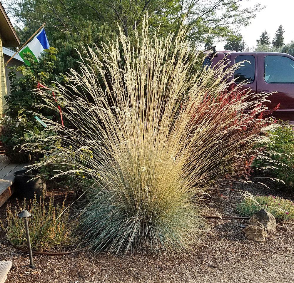 Considerable Plants Blue Oat Grass Dying Blue Oat Grass Winter Care Blue Oat Grass Blue Oat Grass Co Plants Pinterest Grasses
