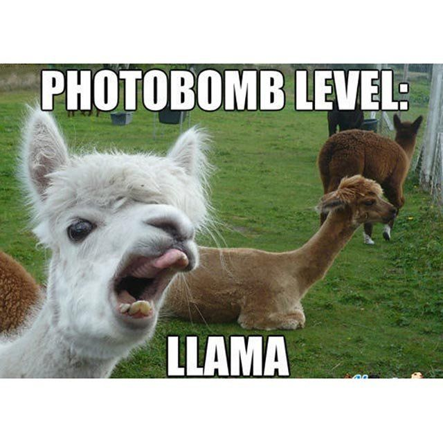 The Funniest Llama Memes Kendrick Llama Llama Del Rey And - If you hate humans you can now invite llamas to your wedding instead