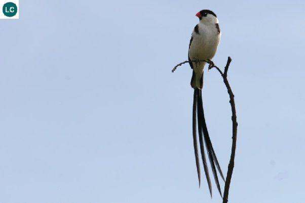 https://www.facebook.com/WonderBirds-171150349611448/ Chim Whydah đuôi dài; Họ Viduidae; Hạ Sahara châu Phi || Pin-tailed whydah (Vidua macroura) IUCN Red List of Threatened Species 3.1 : Least Concern (LC)(Loài ít quan tâm)