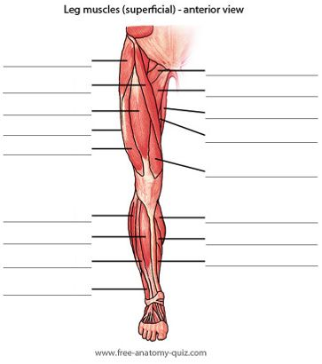 Leg Muscle Diagram Quiz Wiring Diagram For Light Switch
