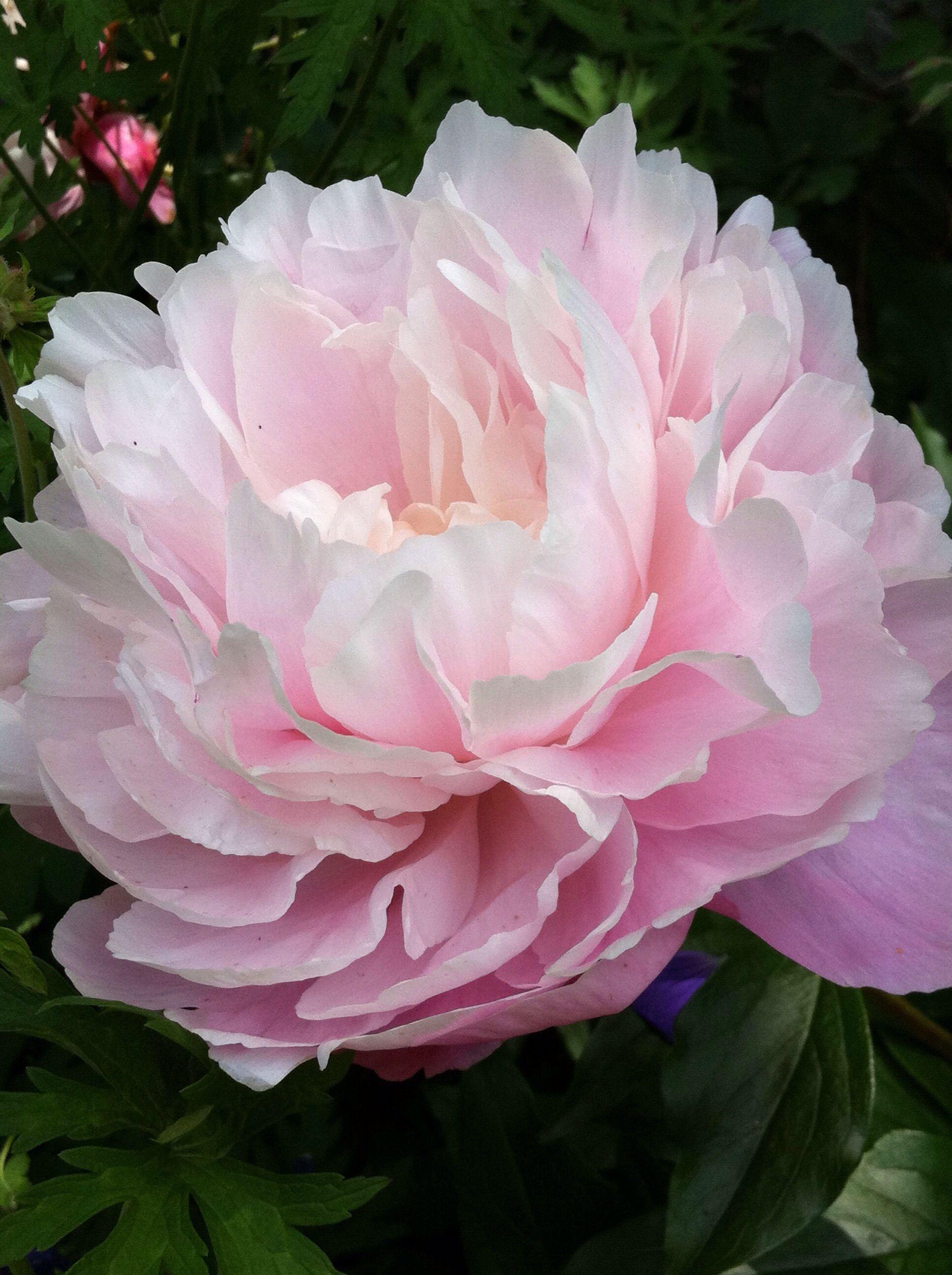 Chinese Peony Pink My Moms Peonies Pinterest Peony Flowers