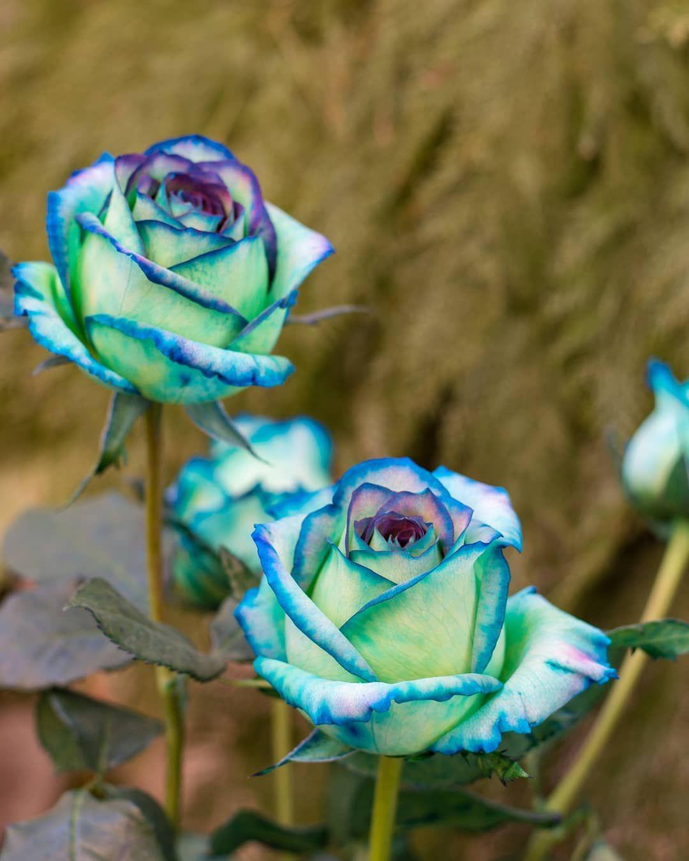 красивые редкие картинки розы слепить