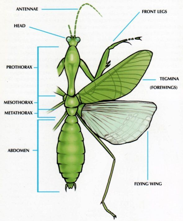 Insect internal anatomy