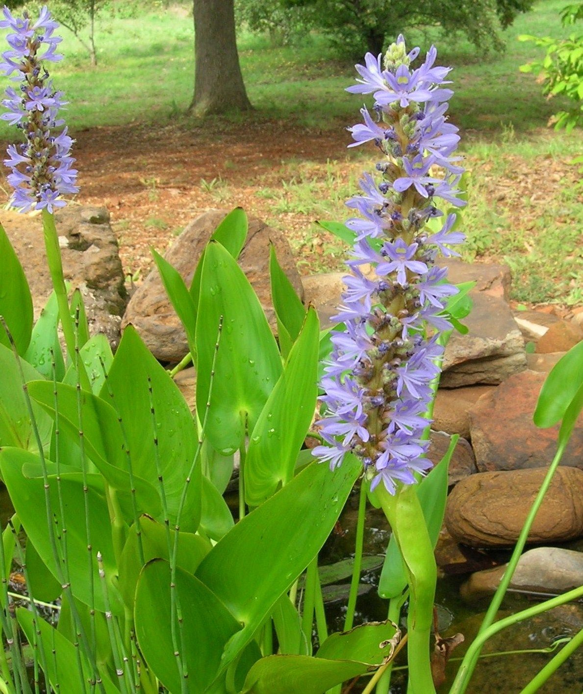 Pickerel Rush- a great plant for pond side or actually even in the water