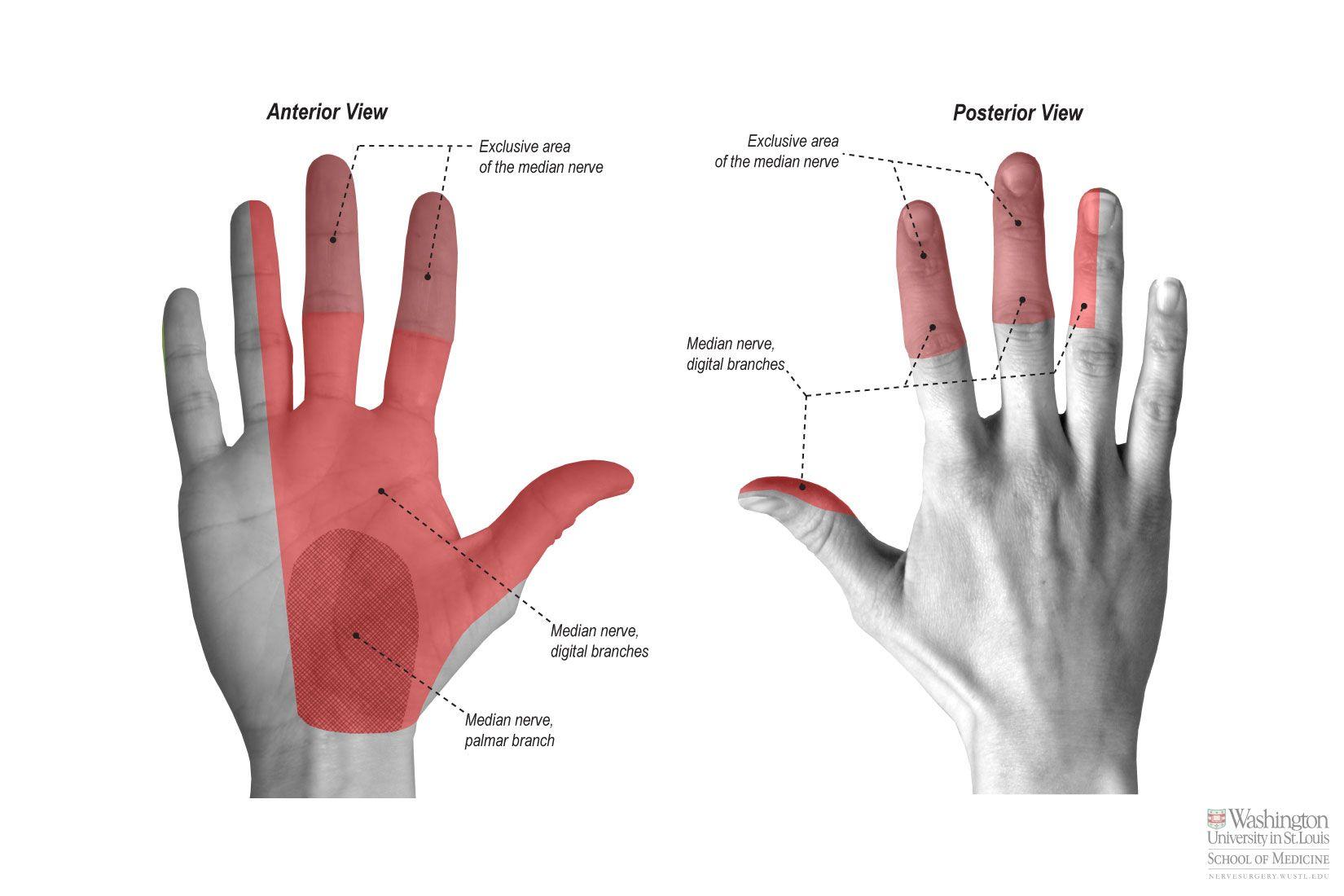 Common Palmar Digital Nerve | Physical Rehabilitation | Pinterest ...