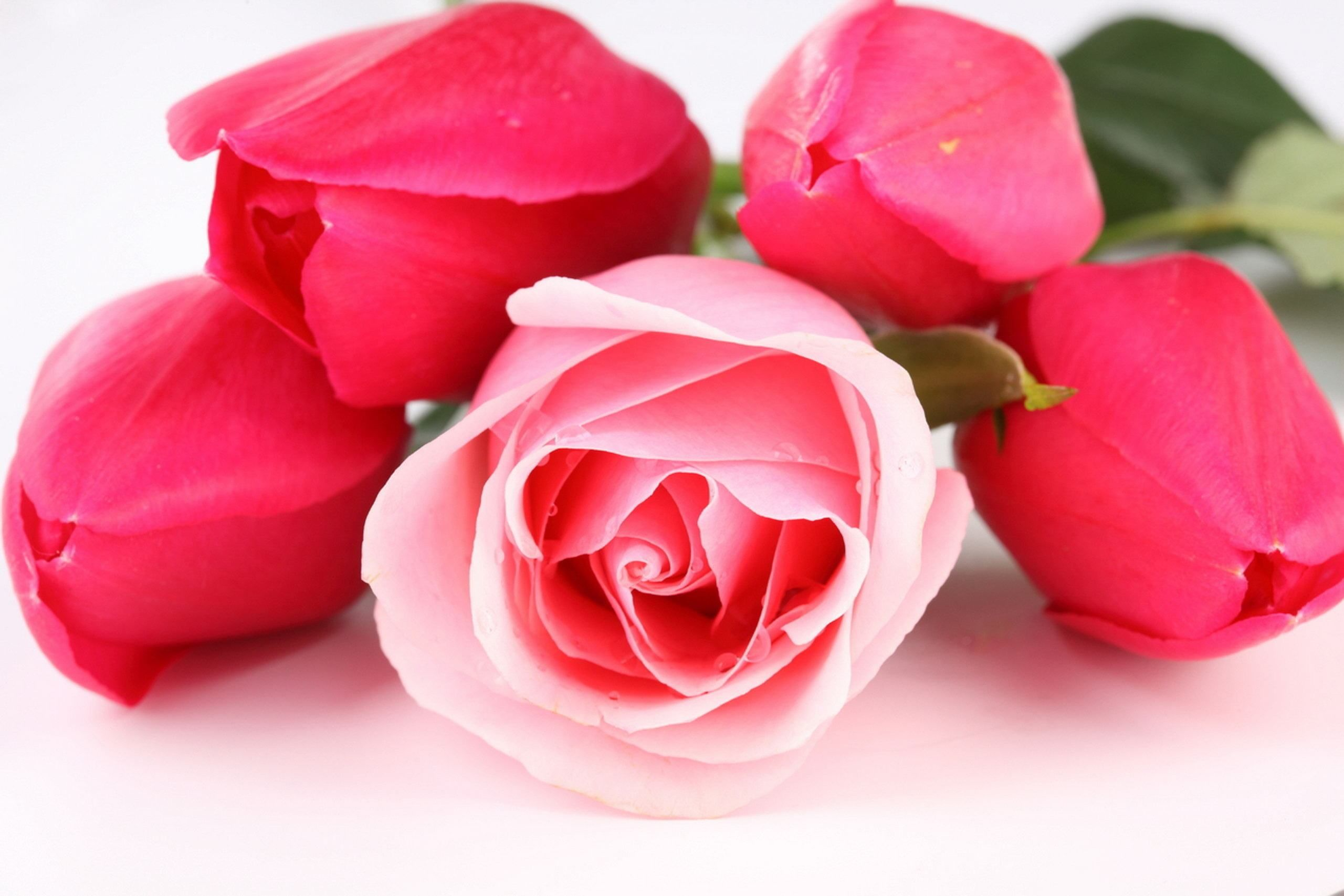 Rose Flowers Wallpapers For Desktop Hd Images 3 Hd Wallpapers Pink Rose Pictures Beautiful Pink Roses Good Morning Roses